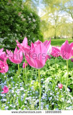 Beautiful tulips in St James Park in London