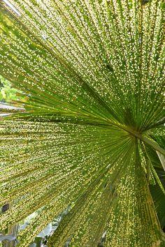 palm, lyon arboretum, hawaii  by magic in the mundane  (desixlb.tumblr.com)