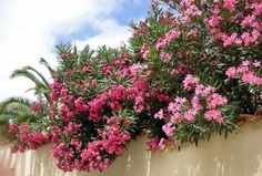 Free Image on Pixabay - Oleander, Pink, Flowers, Blossom Mediterranean Plants, Oleander, Plants, Beautiful Flowers, Small Plants, Home Garden Plants, Trees To Plant, Flowers, Garden Care