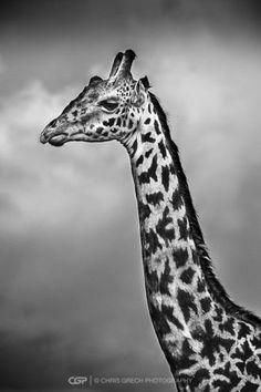 Longneck - Chris Grech Photography