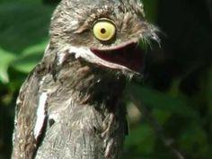 En Los montes mas grandes de sudamericana habita un ave extraña especial a la vez, se trata de un genero extraño de ave nocturna poco común de ver en esta tierra, pero muy curiosa. Vamos a ver que esconde en este post que titularemos: Conozcan al ave