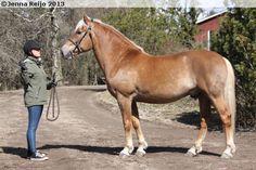 Finnhorse - stallion Ramiini