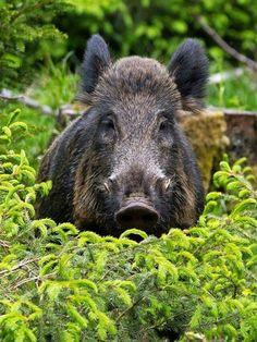 Zu nah am Keiler by Stefan Völkel on Beautiful Creatures, Animals Beautiful, Hog Pig, Animals And Pets, Cute Animals, Miniature Pigs, Make A Character, Hunting Art, Cute Piggies