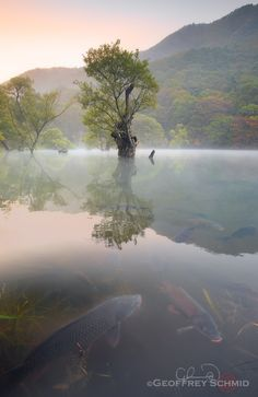Early Autumn, JusanJi, South Korea - JuSanJi Pond, created in 1721, in incredible light and atmosphere. Asian willows, having adapted to the conditions, are over 300 years old. Arriving before dawn increases the chance of catching the fog that hovers over the water with an ethereal glow. The carp just below the surface in the foreground were very much welcome, though I had nothing to feed them. In order to pull off this kind of shot one needs very friendly fish. This area was the location…