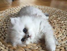 4008a2d4b1e Le chat persan en 67 photos qui vous feront aimer cette race de chats