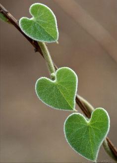 ❥‿↗⁀simply-beautiful-world Nany Araujo Hearty Hoya Simply Beautiful, Beautiful World, Beautiful Flowers, Heart In Nature, Heart Art, I Love Heart, Happy Heart, Love Symbols, Belle Photo