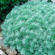 Artemisia Silver Mound | Artemisia schmidtiana | Drought Tolerant Plant Resists Deer. Tones down vibrant colours