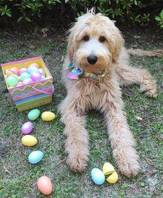 Happy Easter!  #topdogphoto #sendadogphoto #goldendoodlesofinstagram #goldendoodlesofinsta #doodles #doodlelove #doodleselfie #dailyfluff #goldendoodle #goldendoodles #dogsofinstagram #dogsofig #dogboolove #welovedoodles by harper_goldendoodle1