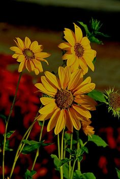 Sun Flowers by Anant Wagle