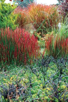 Scarlett Japanese blood grass, black mondo grass and, beyond, glowing maiden grass (Miscanthus sinensis 'Rotsilber').