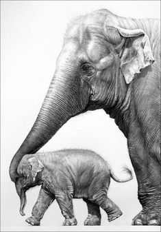 A pencil drawing of asian elephant mother and calf by wildlife artist gary Disney Art Drawings, Pencil Drawings Of Girls, Pencil Drawings Of Animals, Asian Elephant, Elephant Love, Elephant Art, Elephant Drawings, Elephant Anatomy, Elephant Sketch