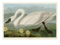 John James Audubon, Wall Art and Home Décor at Art.co.uk