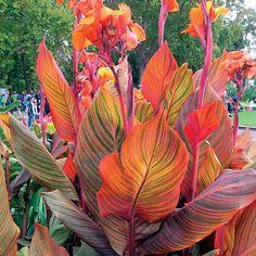 Wayside Gardens - Spring 2016 - Tropicanna® Canna