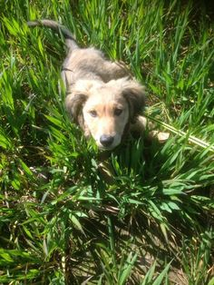 country walk in long grass #dachshund