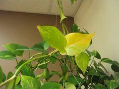 qué la pasa a una planta - hojas amarillas