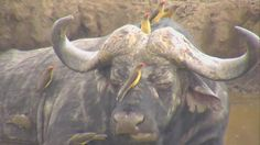 Cape Buffalo with a lot of Red-billed Oxpeckers at Nkorho - May 18 2016 - 11:26am| Africam
