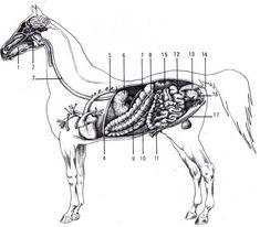 La constitución del caballo, aparato digestivo, respiratorio y circulatorio