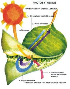 Teaching Biology- Photosynthesis - Lessons on Photosynthesis and Michigan Glacial History Plant Science, Science Biology, Teaching Biology, Science Lessons, Science Education, Science Activities, Life Science, Photosynthesis Activities, Photosynthesis Lab