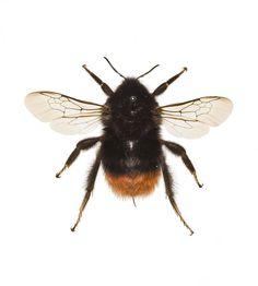 Bombus lapidarius, red-tailed bumble bee, dried specimen, Cambridge, 23 April 1930