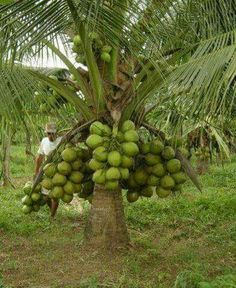 Coqueiro - Brasil