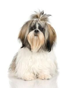 Shih Tzu dogs require routine grooming to keep their coats looking healthy and tangle-free. Grooming your Shih Tzu yourself can save you lots of money and can also provide a bonding experience for you and your dog. Perro Shih Tzu, Shih Tzu Hund, Shih Tzu Puppy, Yorkie, Maltese Poodle, Maltese Dogs, Shih Tzus, Shih Poo, Dog Grooming Tips