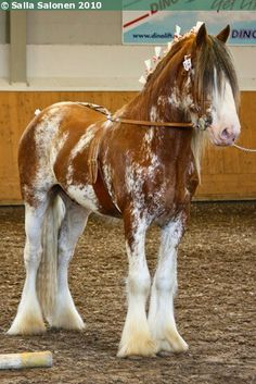 Clydesdale stallion Arclid Scottish Lad Clydesdale stallion Arclid Scottish Lad - Art Of Equitation Big Horses, Funny Horses, Cute Horses, Pretty Horses, Horse Love, Show Horses, Black Horses, Horse Photos, Horse Pictures
