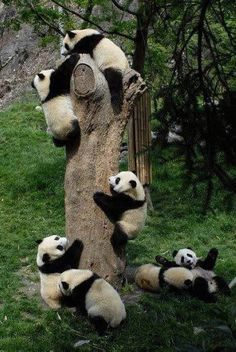 Pandas' favorite activity is climbing trees