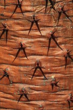 Bast in detail | Paradijsvogels Magazine De Pachypodiapalm (wat betekent 'dikke voet') is inheems in Madagascar; de naam verwijst naar de dikke, flesvormige stam