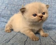 Persian and himalayan kittens for sale Himalayan Kittens For Sale, Ragamuffin, Kitten For Sale, Persian, Fox, Cats, Animals, Gatos, Animales