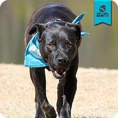 Temple, GA - Labrador Retriever Mix. Meet Spook, a dog for adoption. http://www.adoptapet.com/pet/15042361-temple-georgia-labrador-retriever-mix