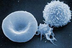 Comparación al microscopio SEM de un globulo rojo (izq), una plaqueta (centro) y un glóbulo blanco (der)