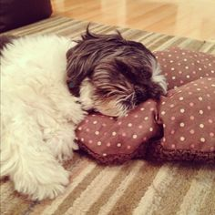 Shih Tzu .. el mio tb duerme con almohadita!
