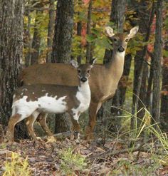 piebald deer and normal