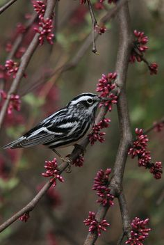 Black-and-white Warbler (Mniotilta varia)