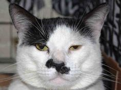 TO BE DESTROYED - 04/10/15 - DANIIL - A1031193 - MANHATTAN, NYDYNAMIC DANIIL IS A BEGINNER RATED CUTIE WHO PURRS AND LOVES PETTING BUT WILL DIE FOR THE KITTY COLD! Daniil was brought in as a stray but his super sweet friendly behavior shows that this 2 year old boy with the crooked mustache is probably someone's lost or abandoned pet. Daniil just can't get enough loving and he would love to cuddle up and be your furever kitty. CONTACT A RESCUE NOW TO PULL THIS ADORABLE BOY FROM THE EUTH LIST…