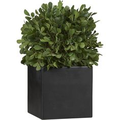 Crate & Barrel Boxwood Round Topiary ($40) ❤ liked on Polyvore featuring home, home decor, floral decor, plants, fillers, nature, green, flowers, flower stem and square pots