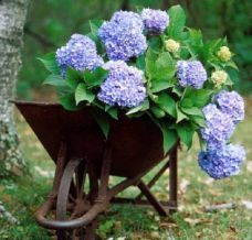 Plant of the month: Hydrangea - Houston Chronicle.  How to care for Hydrangeas