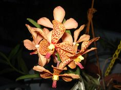 Orchids Nagercoil by sharan prasanth, via Flickr