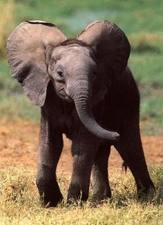 ♥ Baby Elephant ♥ - Bottled by Baby Animals Baby Elephant Pictures, Elephant Love, Elephant Pics, Elephant Family, Elephants Never Forget, Save The Elephants, Baby Elephants, Mundo Animal, My Animal