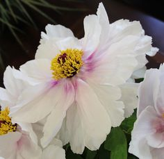 TREE PEONIES - The Queens of the spring garden - Sowing the Seeds