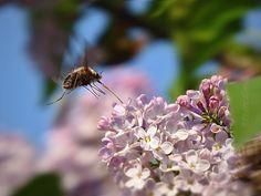 Orgona virág Rovar Tavasz - Országalbum