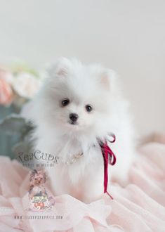 Tiny Teacup Pomeranian puppies available in our store.Your Micro Teacup Pomeranian puppy is conveniently small and cute. Find your tiny Pomeranian ur boutique. Cute White Puppies, White Pomeranian Puppies, Pomeranian Facts, Teacup Puppies, Cute Puppies, Micro Teacup Pomeranian, Teacup Chihuahua, Chihuahua Dogs, Jiff Pom