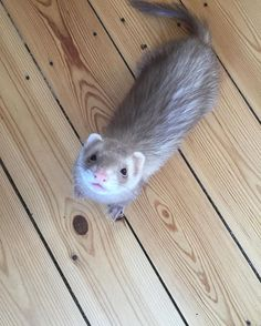 Just one itty bitty tiny bit of that thing you is eatin'. Ferrets Care, Baby Ferrets, Funny Ferrets, Pet Ferret, Baby Otters, Nature Animals, Farm Animals, Animals And Pets, Funny Animals