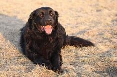KILO is an adoptable Newfoundland Dog Dog in Saskatoon, SK. Kilo is a 4 year old black Newfoundland mix that arrived at the shelter on April 20, 2013, and is available for adoption with the Saskatoon.