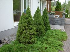 No mikä se tämä puu on. Green Garden, Garden Inspiration, Outdoor Gardens, Outdoor Living, New Homes, Home And Garden, Patio, Flowers, Plants