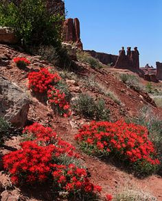 ~ Arches Wildflowers ~ Utah.... Spring in the desert is magical. Robert