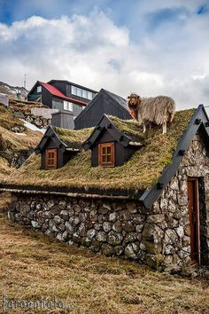 Faoër schaap op grasdak. Foto Ólavur Frederiksen