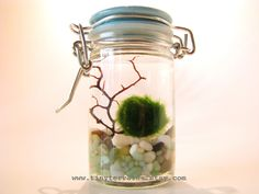 Featured In Nordstrom - Marimo Moss Ball Tiny Jar Aquarium / Terrarium: Several…