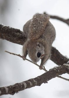 """""""エゾモモンガ""""って、ホント可愛いなぁ! 2016.2.25 : 天まで届け! Nature Animals, Animals And Pets, Baby Animals, Funny Animals, Cute Animals, Japanese Dwarf Flying Squirrel, Furry Tails, Hamster, Chipmunks"""