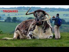 EL TORO MAS GRANDE DEL MUNDO – Los toros mas grandes del mundo – Toros Gigantes - YouTube